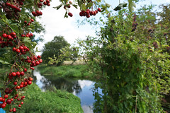 Autumn beckons (Neil Pulling) Tags: biggleswade bedfordshire riverivel ivel countryside redberries