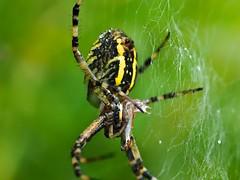 Nella morsa del ragno (Fernando De March) Tags: morsa preda cattura aracnide insetto ragnatela