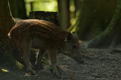 Frischling (chipdetty) Tags: schleswigholstein malente badmalente dieksee wildparkdiekseegehege frischling wildschwein tier