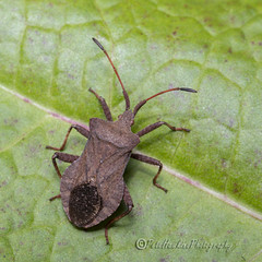 _IMG9801 Dock Bug - Coreus marginatus (Pete.L .Hawkins Photography) Tags: dock bug coreus marginatus petehawkins petelhawkinsphotography petelhawkins petehawkinsphotography 150mm macro pentaxpictures pentaxk1 petehawkinsphotographycom rotherhamphotographer irix f28 11 fantasticnature fabulousnature incrediblenature naturephoto wildlifephoto wildlifephotographer naturesfinest unusualcreature naturewatcher minibeast tiny creatures creepy crawly wildlife insectphoto bugphoto insect invertebrate 6legs compound eyes uglybug bugeyes fly wings eye veins