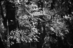 Leaf Oasis (Gene Ellison) Tags: plants trees vines shrubs wild foliage leaves woods nature photography naturephotography blackwhitephotos bw fujifilm acros sooc
