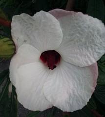 Hibiscus heterophyllus (sftrajan) Tags: sanfranciscobotanicgarden flower september hibiscusheterophyllus australianplants nativerosella fleur malvaceae sanfrancisco 2019 jardínbotánico jardinbotanique macro closeup