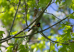 American Redstart (Matts915) Tags: belmont birds dendroica massachusetts newworldwarbler parulidae passerine rockmeadow setophaga setophagaruticilla warbler wildlife animalphotography animals birdwatching birding migrant nature natureshots outdoors woodwarbler american redstart americanredstart