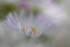 Etre ange (CécileAF) Tags: canon colour dreamy romantic macro bokeh flowers nature poetic