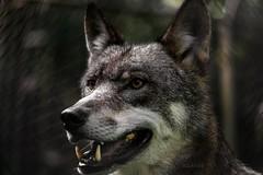 aufmerksamer Blick ... attentive look (gabrieleskwar) Tags: anholt anholterschweiz wolf wolfsgehege wolves draussen outdoor niederrhein nrwgermany natur nature animal tier ohren ears nikonz6 nase nose augen eyes zähne teeth