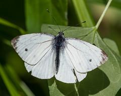 Sevenoaks 08.09.19 Small White