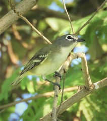 Life Bird 2: Blue-Headed Vireo (Ruby 2417) Tags: life lifer rare rarity vireo bird wildlife nature padre island texas gulf coast birding birders