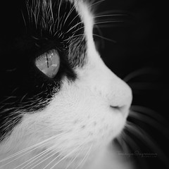 Vision (Teranique Impressions) Tags: teranique teraniqueimpressions macro macrophotography animal cat blackandwhite eye cateyes sight vision shandrenreddy