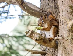 Squirrel with Lunch (Karen_Chappell) Tags: animal mammal squirrel nature brown tree cone redsquirrel bidgoodpark newfoundland nfld stjohns canada eastcoast avalonpeninsula atlanticcanada canonef24105mmf4lisusm branch cute outdoors