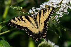Another Swallowtail (Fred Roe) Tags: nikond7100 nikonafsnikkor200500mm156eed nature naturephotography national wildlife wildlifephotography animals insect butterfly easterntigerswallowtail papilioglaucus colors outside flickr macro backyard