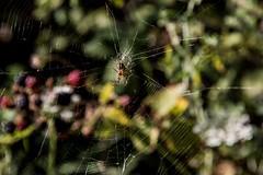 Spider (vannuc) Tags: flowers colors canon holiday summer croazia croatia susak nature animal ragnatela spider
