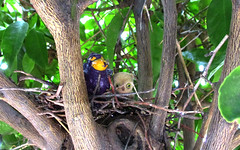 Barry and Peep (sophie.lafontaine) Tags: strawberryshortcake purplepieman berrybird owlet nest