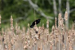 Red-Winged Blackbird (Matts915) Tags: belmont birds massachusetts rockmeadow wildlife agelaiuspoheniceus animalphotography animals birdwatching birding nature natureshots outdoors redwingedblackbird
