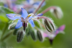 True blue (vaneramos) Tags: boragoofficinalis blue bokeh borage botanical floral garden herb macro