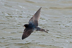 swallow (DODO 1959) Tags: wildlife swallow nature avian fauna birds animal outdoor water carmarthenshire wales kidwellyquay 7dmk2 canon 100400mmmk2