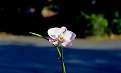 orchid (bluebird87) Tags: flower orchid film nikon n90s dx0 c41 lightroom jobo kodak ektar