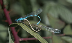 Sevenoaks 08.09.19 Blues mating