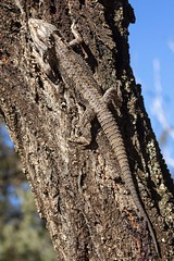 Bearded dragon (jennospics) Tags: beardeddragon