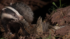 Badger cub with dinner (Thomas Winstone) Tags: uk wild nature forest canon mammal countryside unitedkingdom outdoor forestry wildlife mammals gitzo canonuk canon1dxmark2 300mm28mk2 light fur outdoors evening pheasant dusk stripes flash tripod bbc badger nationalgeographic springwatch mustelidae offcameraflash bbcspringwatch thomaswinstonephotography yongnuoflash600exrtii