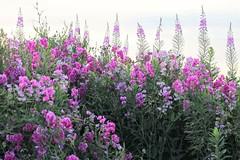 Sweet Pea Flowers (Ana Danesh) Tags: flowers nature sweetpea