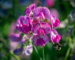 Sweet Pea and Bee (jennbastian) Tags: flowers oregon portland sweetpea