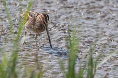 Snipe (Gareth Keevil) Tags: autumn bird detail garethkeevil lancashire mudlark nikon nikon500mm nikond500 north rspb rspbleightonmoss reedbed snipe telephoto uk wader wild