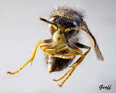 Yellow Jacket (gwhiteway) Tags: wasp yellow jacket macro closeup m10 mark iii olympus insect nature animal