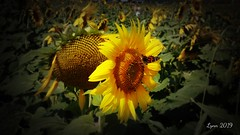 DSC00615edited (~ Lynn Marie) Tags: sunflower sunflowers sunflowerfestival buchananvirginia 2019 outside flower flowers virginia landscape nature