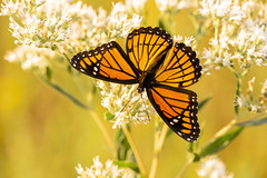 Viceroy (Bernie Kasper (6 million views)) Tags: art berniekasper butterfly bug butterflies bugs color colour d750 effect eyes family flower floral flowers fall hiking home indiana indianawildflowers insect insects indianabutterflies image jeffersoncounty light leaf love leaves madisonindiana macro nature nikon naturephotography new outdoors outdoor old outside orange black photography plant photos plants photo people raw sigma summer travel trail unitedstates usa viceroy wildflowers wildflower