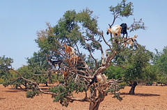 Goats in a Tree - Morocco (TravelsWithDan) Tags: goats aragontree desert morocco goatsinatree stoppedbythesideoftheroad unusualsights africa canong3x freerangegoats