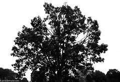 Contrasty Bur Oak (Jim Frazier) Tags: 2019 2019cantigny 2019cantignyphotowalks fagaceae quercusmacrocarpa abstract botanic botanicgardens botanical botanicalgardens buroak cantigny cantignypark centered centralperspective class diagonals displaygarden dupage dupagecounty fall formalgardens gardens horticulture il illinois jimfraziercom loadcode201909 minimalism monochrome museums negativespace parks photoclass photowalk pov preserves publicgardens q3 quercus seminar september silhouette simplicity sizeover1000 summer symmetrical symmetry tree trees triangles upperburoakgarden upperdisplaygarden wheaton workshop jfpblog