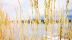 Summer's gold (Eric Flexyourhead) Tags: vancouver canada britishcolumbia bc downtown coalharbour vancouverconventioncentre city urban detail fragment grass summer gold golden shallowdepthoffield bokeh 169 sonyalphaa7 zeisssonnartfe35mmf28za zeiss 35mmf28