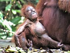 Give me a banana!!! (rlt64) Tags: orangutan babies wildlife endangered