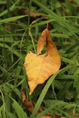 Leaf (historygradguy (jobhunting)) Tags: easton ny newyork upstate washingtoncounty leaf leaves fall autumn