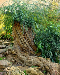 Rock Garden Tree (scilit) Tags: tree gnarly twisted leaves branches roots stream rocks rockgarden garden rbg botanicalgarden green rocky nature exotic landscape panoramafotográfico thebestofmimamorsgroups contactgroups