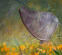 Silvery Butterfly (scilit) Tags: flowers sunlight painterly macro texture nature silver butterfly bug insect grey wildlife grasses orangeflowers alittlebeauty coth coth5 photosandcalendar ngc npc