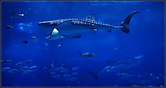 Going With the Fow (janetfo747 ~ Dreaming of Africa) Tags: aquarium georgia snorkel whaleshark fish huge largestfish sea water blue