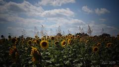 DSC00611edited (~ Lynn Marie) Tags: sunflower sunflowers sunflowerfestival buchananvirginia 2019 outside flower flowers virginia landscape nature
