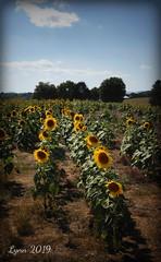 DSC00631edited (~ Lynn Marie) Tags: sunflower sunflowers sunflowerfestival buchananvirginia 2019 outside flower flowers virginia landscape nature
