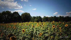 DSC00600edited (~ Lynn Marie) Tags: sunflower sunflowers sunflowerfestival buchananvirginia 2019 outside flower flowers virginia landscape nature