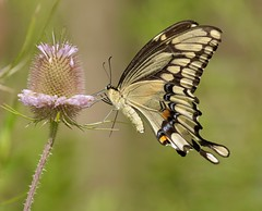 Large and in Charge (Slow Turning) Tags: papiliocresphontes giantswallowtail butterfly insect foraging forage feeding nectaring teasel dipsacus flower blossom summer southernontario canada