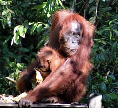Watchful (rlt64) Tags: orangutan borneo babies wildlife endangered