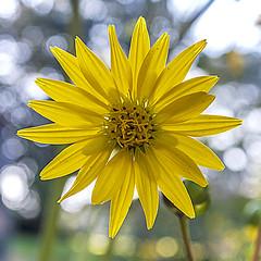 Sunflower 01 (jolynne_martinez) Tags: kansascity missouri unitedstates yellow sunflower bokeh flower flowers flowering wildflower wildflowers nativeplant plant growing garden gardening outside nature nikkon nikon nikond60