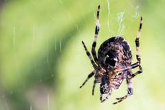 Spider (lightersideofdark) Tags: arachnid creepycrawly creepy macro closeup eightlegs outdoors outside cobweb spider green below bokeh