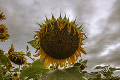 Behold: the End of Summer (bill.d) Tags: allegan allegancounty gorbysunflowers michigan monterytownship us unitedstates evening flower outdoor overcast summer sunflower yellow explored