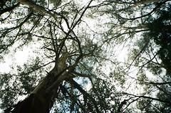 Tree branches (Matthew Paul Argall) Tags: kodakprostar111 fixedfocus focusfree 35mmfilm kodakultramax400 kodak400 ultramax 400isofilm treebranches plant plants tree trees