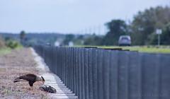 Northern Crested Caracara (Caracara cheriway) (David A. Burkart) Tags: northern crested caracara cheriway colliercounty florida usa bird scavenger feeding road car