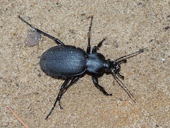 Ground beetle: Carabus coriaceus (Anita363) Tags: carabuscoriaceus carabus carabinae carabidae adephaga coleoptera insect fauna beetle black līgatne ligatne latvia june