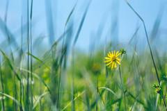 orland park grasslands. august 2019 (timp37) Tags: orland park grasslands august 2019 illinois flower