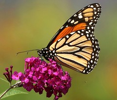 Monarch Butterfly on Butterfly Bush (Happy Shuttering (Ruth) Off/On) Tags: a little beauty